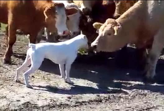 Бульдог И Коровы